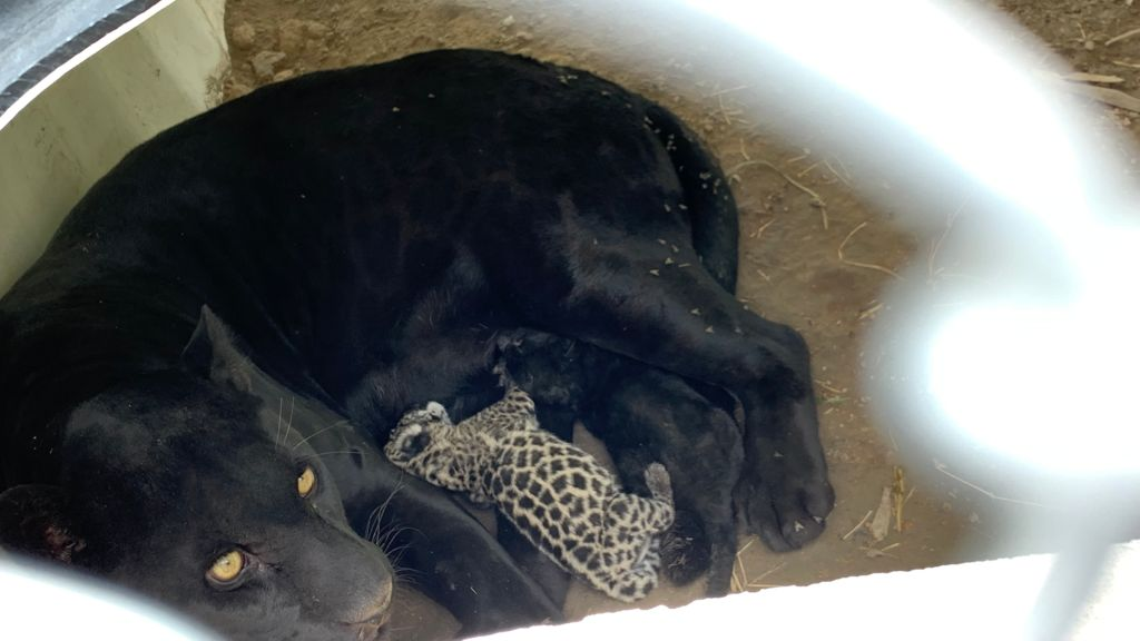 Nacen dos crías de Jaguar en la UMA del Parque Tangamanga